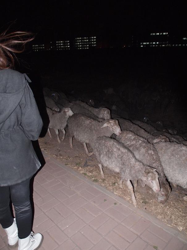Des moutons à Beichen