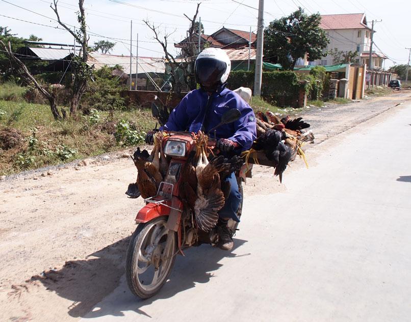 Poules sur moto!